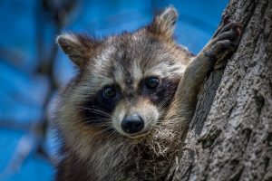 Ways to Keep Raccoons off your New Lawn